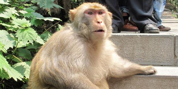 """翻垃圾桶找零食 趴在楼顶""""孵""""太阳 大学宿舍里来了群猴舍友"""