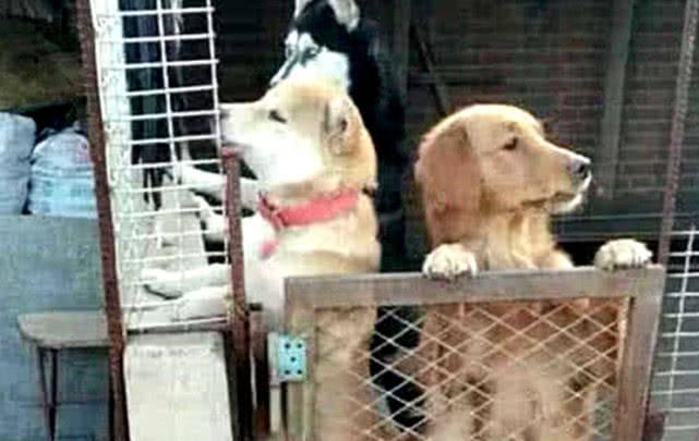 原创 柴犬和金毛相继逃出,独留二哈在笼里,主人回来后却奖励了它