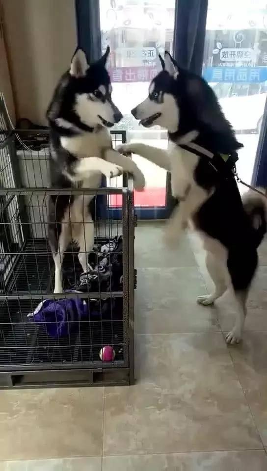 原创 二哈宠物店遇到同伴,喜悦得简直快要飞起,容貌肖似惹人怀疑