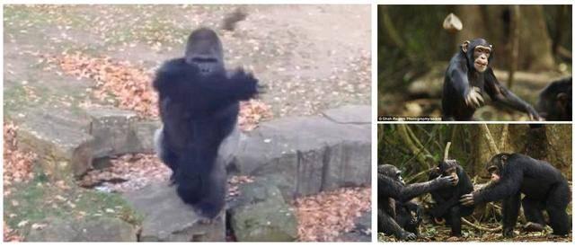 原创 王者对决:银背大猩猩遇到老虎!效果会怎样?