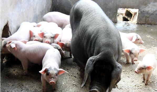 朱增勇:预计国内猪价三季度将季节性回升,四季度会回落