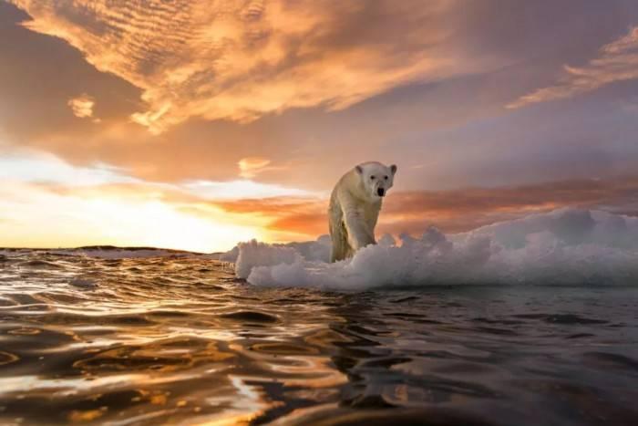 汇金财讯北极熊真的要灭绝了么?