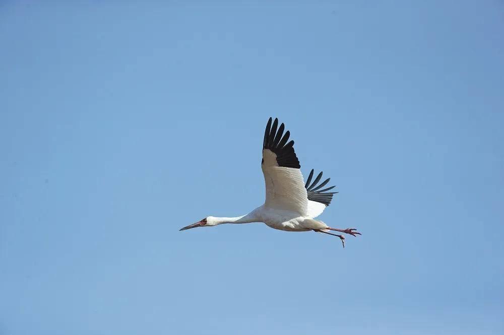 地球最后4000只白鹤:毒杀、枪击、无处落脚,等待拯救的精灵
