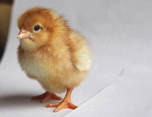 蛋鸡苗孵化场浅析海兰褐青年鸡养殖技术