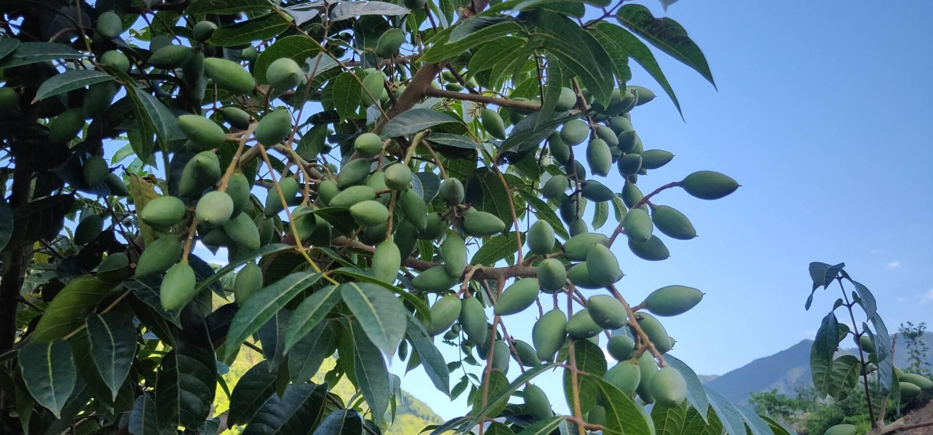 厚珍贵:橄榄的功效与食用方法