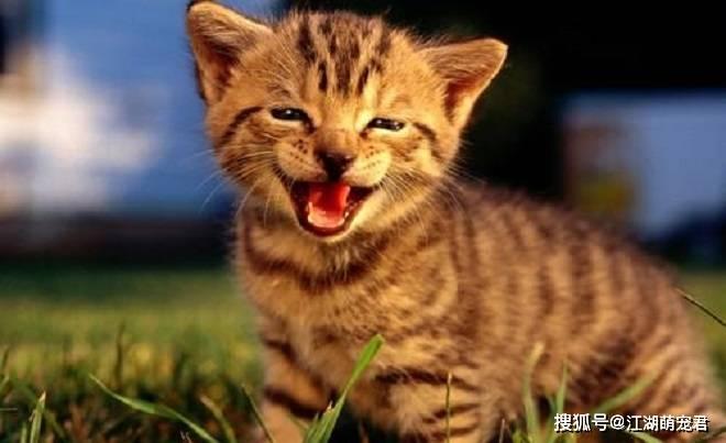 带你了解养公猫和母猫的7个区别,让新手选择猫咪不再困难