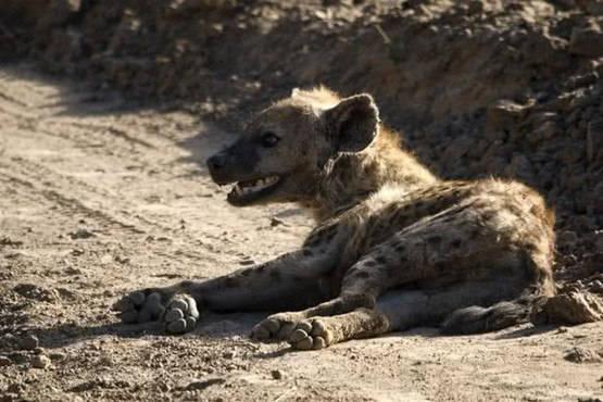 原创 雄狮对鬣狗举行绝杀,得手后满足扬长而去,没料了局反转让人傻眼