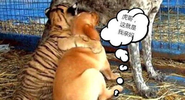 原创 幼虎丧母后被带去给狗狗喂奶,几天后喝上瘾了,还把小狗当兄弟