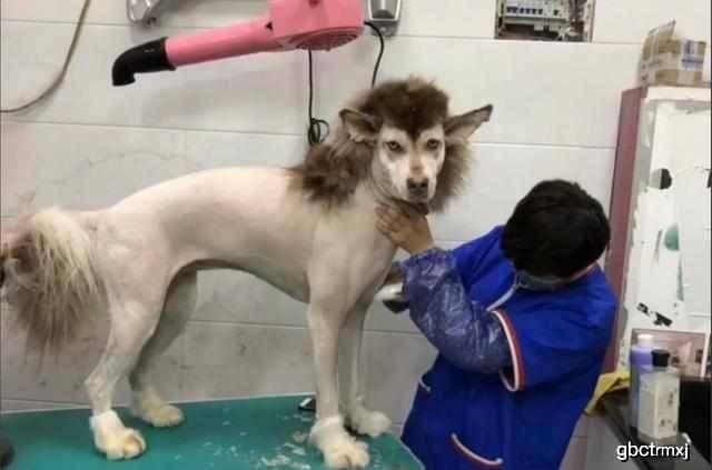 """原创 给狗狗剃头,效果阿拉斯加被剃成了""""平头哥"""",主人不老实的笑了"""