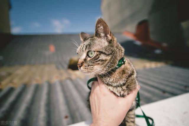 花猫@养过才知道,它是非常适合养的猫咪,狸花猫