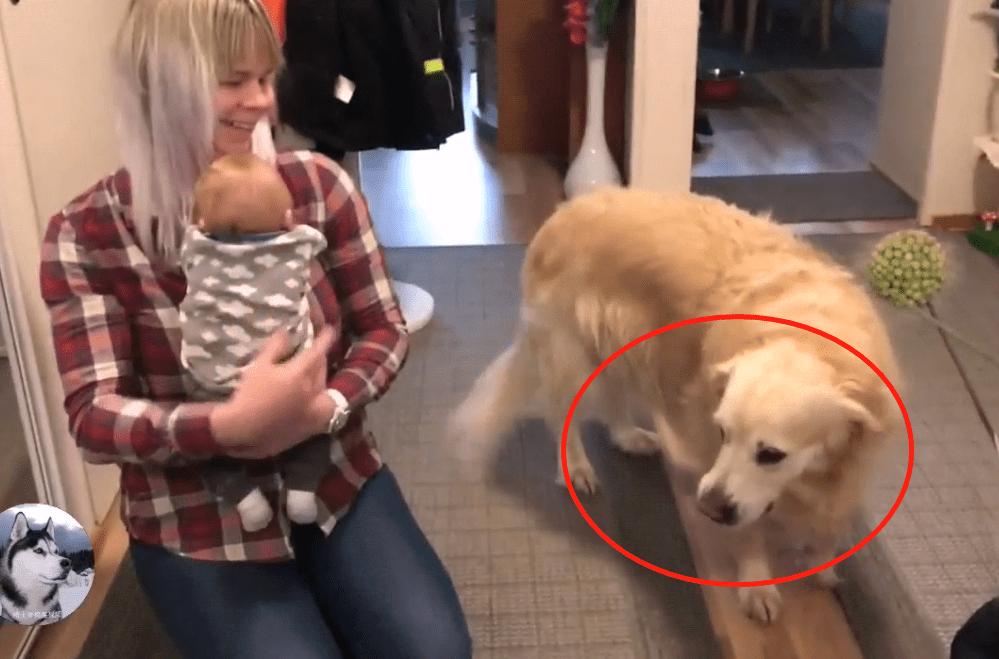 女主抱着宝宝回家,开门后金毛就糊涂了,狗:还是丢了吧