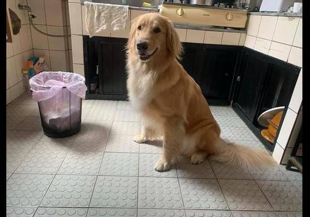 原创 烤焦的吐司扔了后,金毛守在垃圾桶旁看着:能把边边撕给我吃吗?