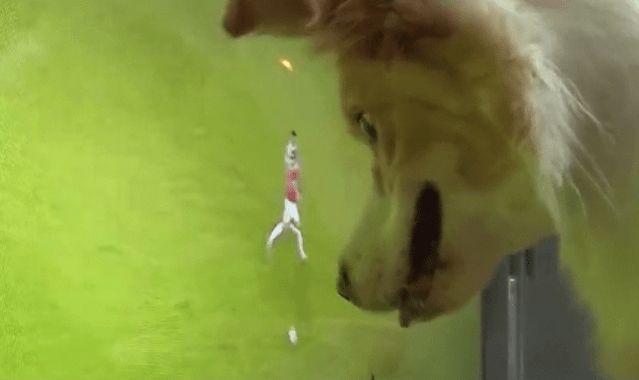 原创 狗狗沉迷于足球节目,主人关掉电视后会自己打开