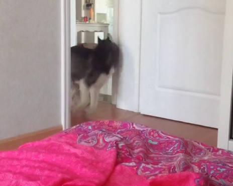 原创 主人克制狗狗进卧室,二哈不信邪频频试探,被发现后扭头就开跑
