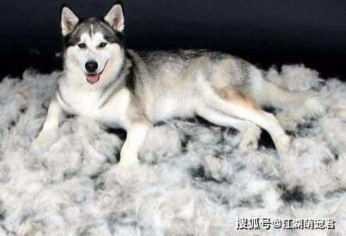 原创 哈士奇掉毛严重?这几招解决狗狗掉毛困扰,还你清洁居室