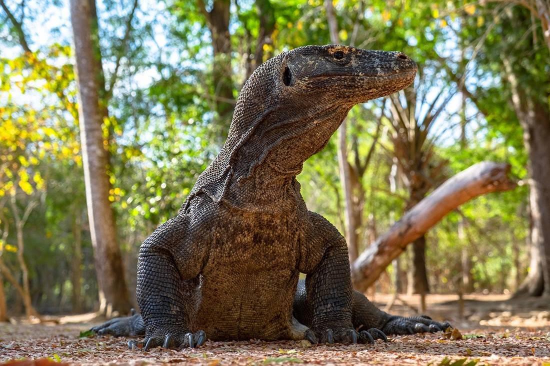 活了4000万年的科莫多龙,能轻松捕食大水牛,20分钟吃掉62斤野猪 (图3)