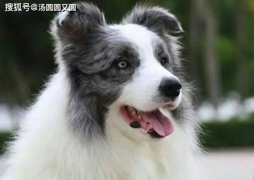 【养宠经验】狗狗在地板上尿尿之后,有什么解决尿味的方法