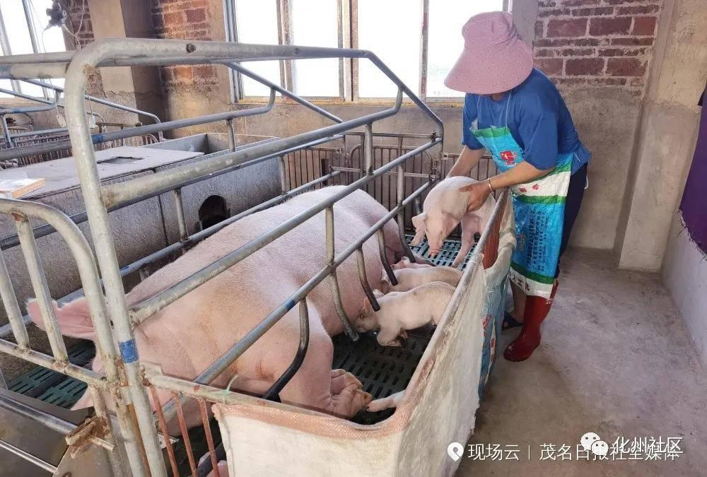 """化州有座""""猪宾馆""""赚钱环保两不误"""
