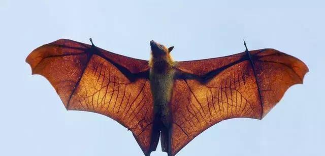 菲律宾这种长得像 人型蝙蝠侠 的超大蝙蝠,能把人吓尿