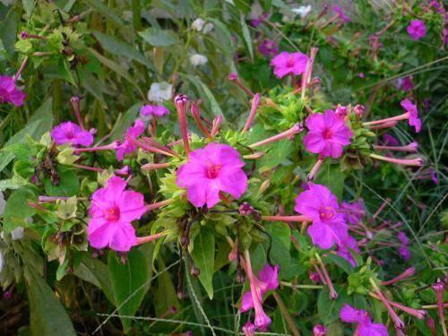 农村一种野花,用它泡茶喝,活血调经,能治疗多种妇科疾病