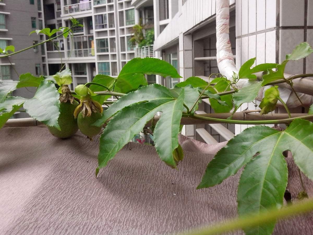 百香果籽种多久才结果