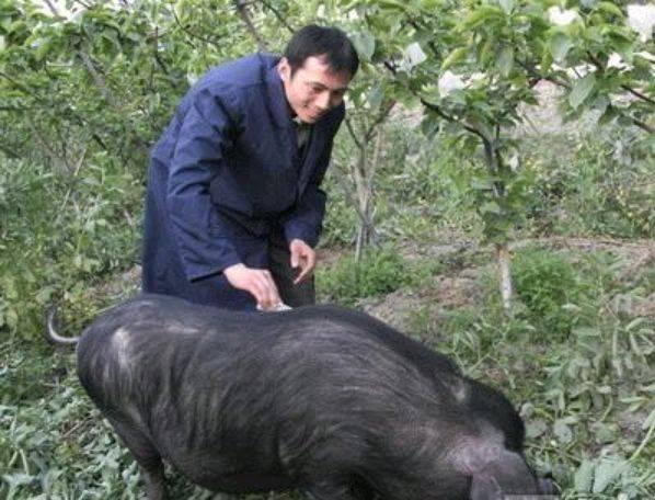 黄州好猪肉价贱如土壤 湖北卫视50万年薪