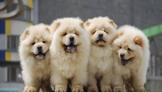 松狮犬作为中大型犬而且是肌肉型的中大型犬