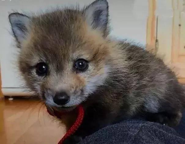 被救后小狐狸住下不走了,朋友遍地却有个遗憾:要是有同类多好