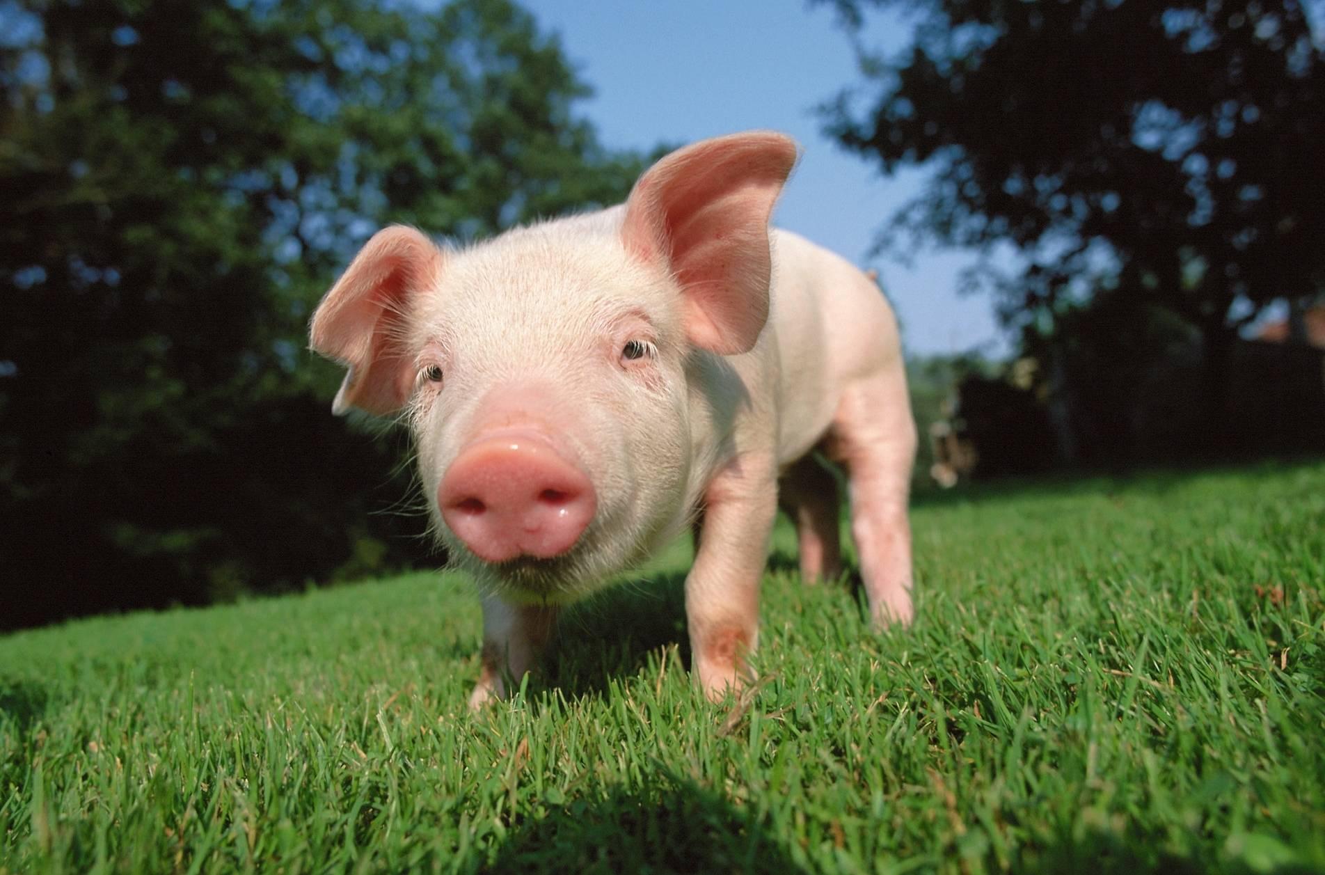 """""""猪芯片""""争议背后,养猪业亟待鲶鱼效应"""