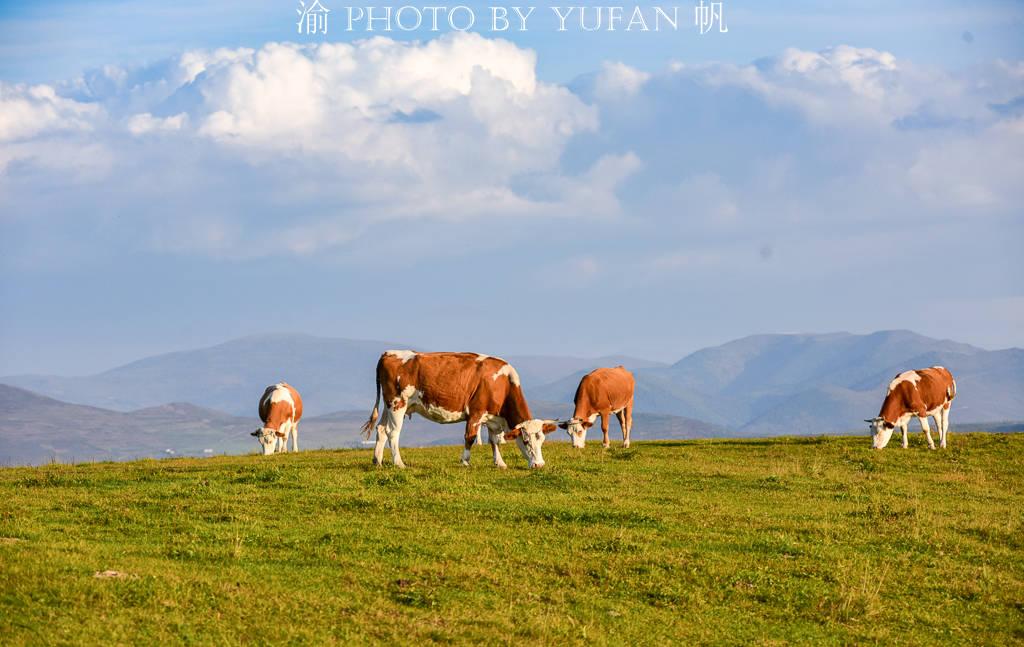 中朝边境发现一片高山草原,牛羊成群美如画