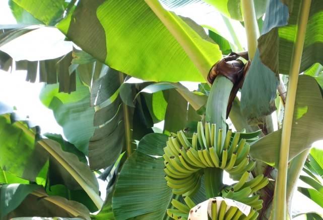 香蕉种植过程中药剂的选择(香蕉种植技术) 香蕉