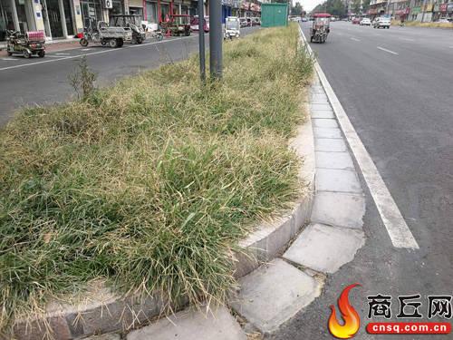 商丘市勝利路上花壇內荒草叢生 市民盼望早綠化