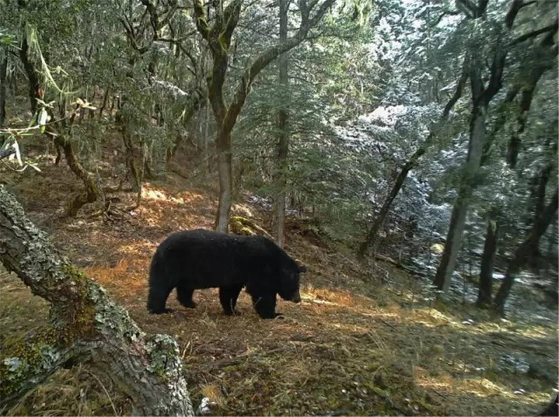 动漫头像小黑熊