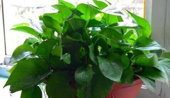 """大妈养青萝卜 做这四种""""垃圾水"""" 叶子油油的 绿绿的 枝叶茂盛 真的是用的"""