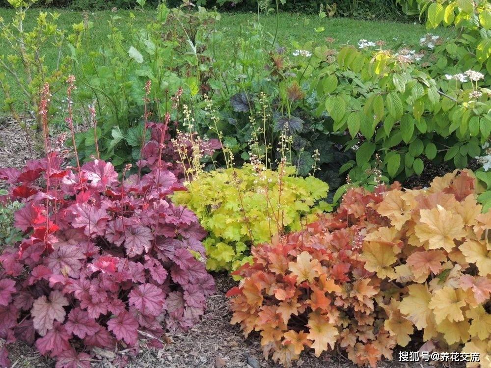 明矾根耐热性差 适合秋季种植 它可以在