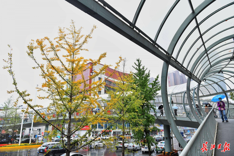 武汉秋雨过后 气温骤降 银杏树的绿叶在寒冷中慢慢染成黄色