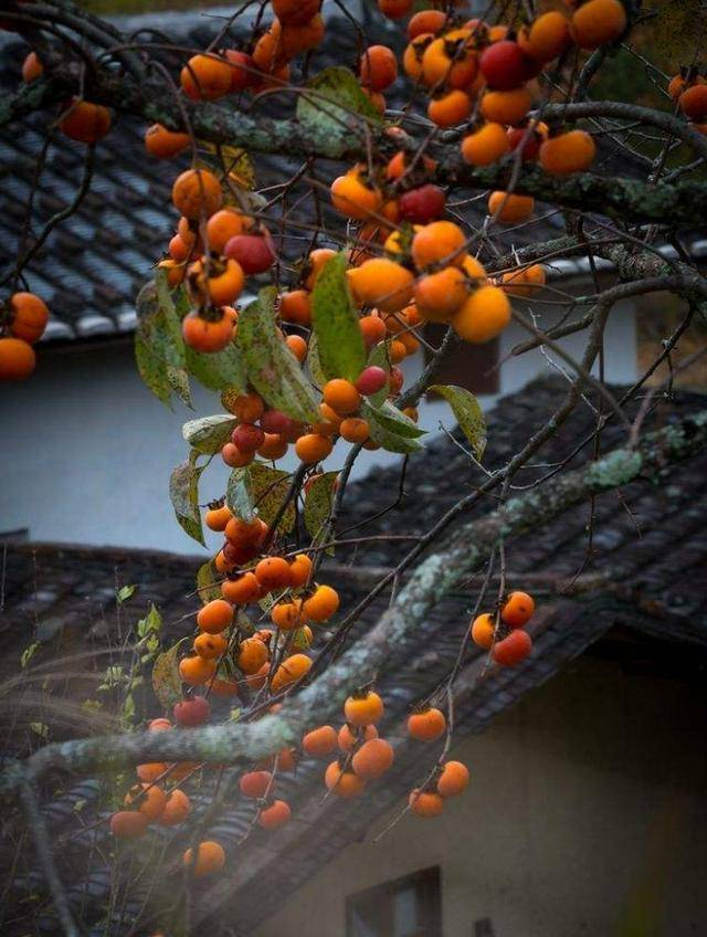 以前家家户户都争先恐后地把水果捡起来