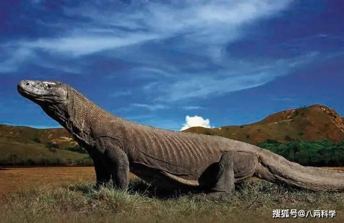 科莫多巨蜥的唾液有毒?靠毒液捕猎?科莫多巨蜥的迷与思!(图1)