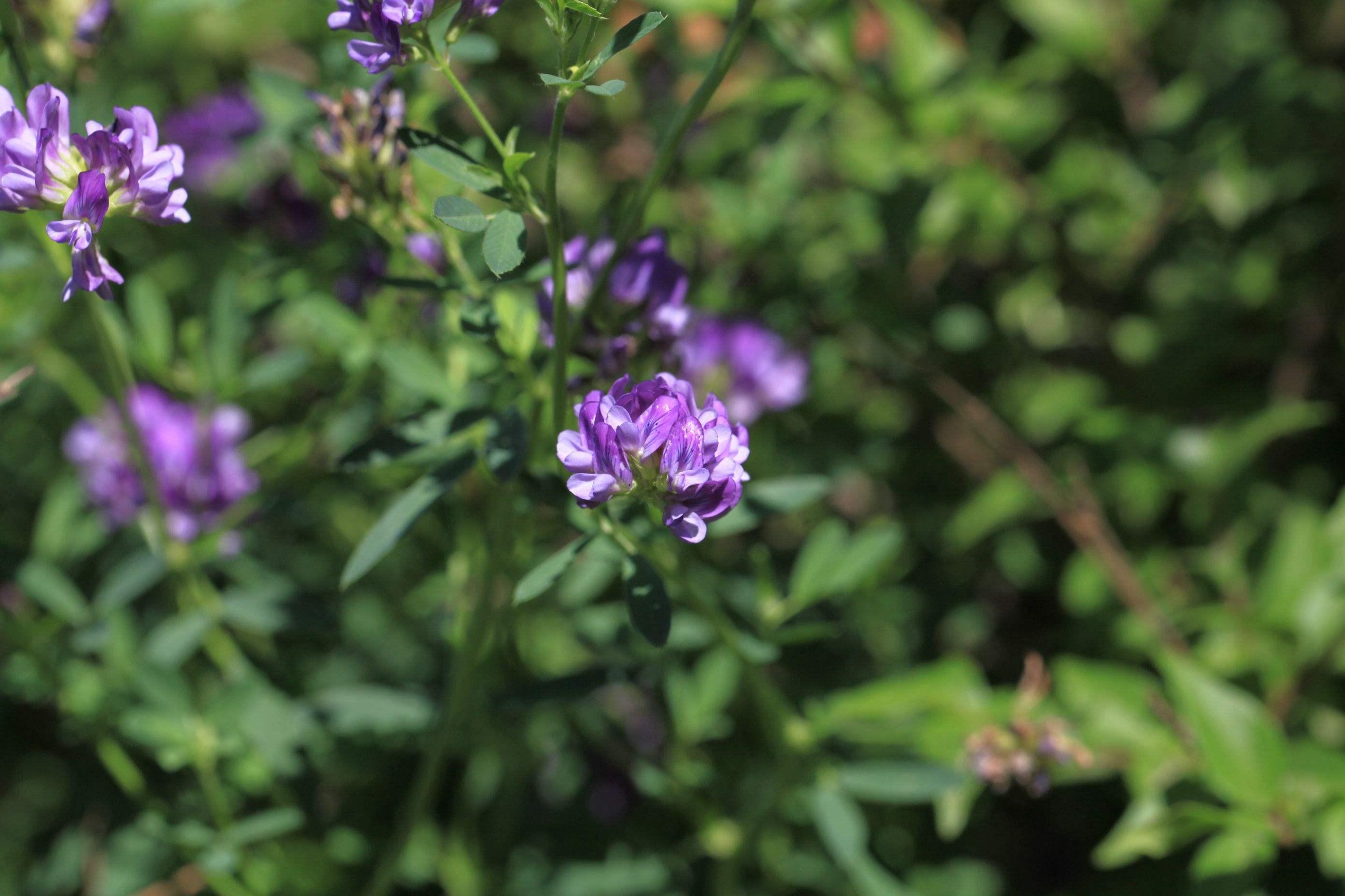 紫花苜蓿地图片