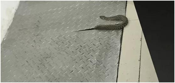 永嘉一号收费站惊五步蛇