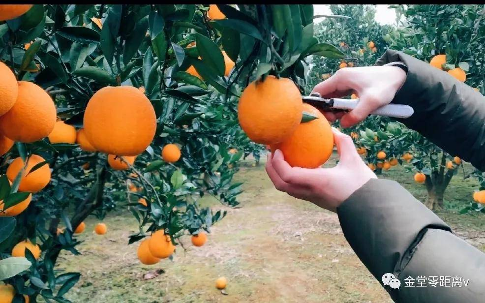 原来金堂这个乡镇也盛产水果,不仅可以采摘还能游玩探险!