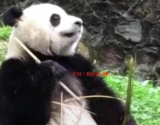 熊猫吃到一半突然想起要减肥,叹了一口气后放下竹子,网友:扎心
