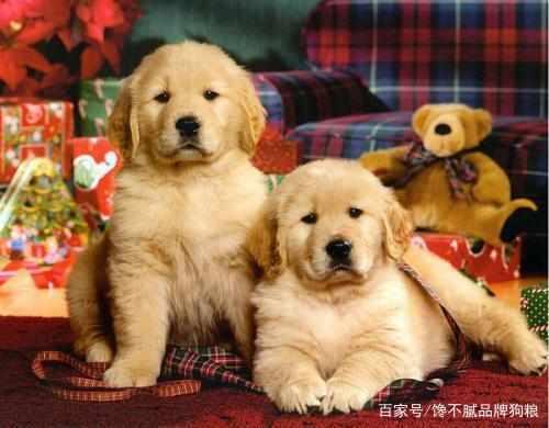 """一只纯种的金毛犬,具有以下""""6个特征"""",你家的是串串吗?"""