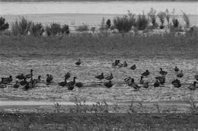 南京長江五橋下,好生態引來成群野鴨