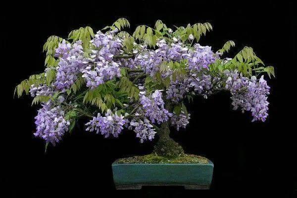 紫藤盆景的制作图解图片