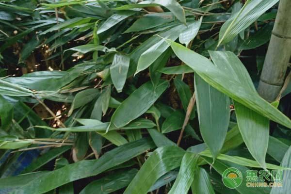 干粽叶批发多少钱一斤?粽叶是芦苇叶还是竹叶?图片