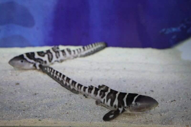 广东首次繁育濒危物种豹纹鲨,成功