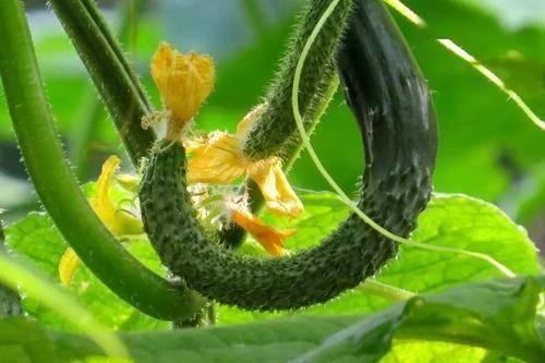 笔直的黄瓜都被喷了药,弯黄瓜才是天然蔬菜?其实都没有问题 减肥误区 第4张