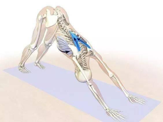 练瑜伽,一定要学会激活启动肩胛骨!_运动 高级健身 第13张