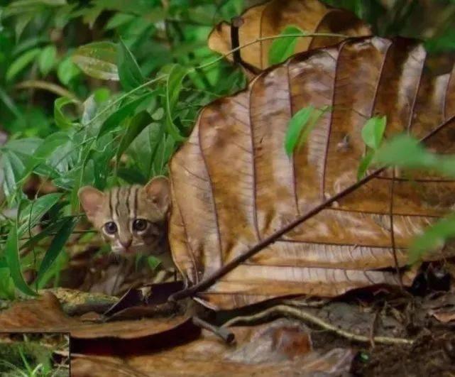 锈斑豹猫,世界上最小的猫咪。